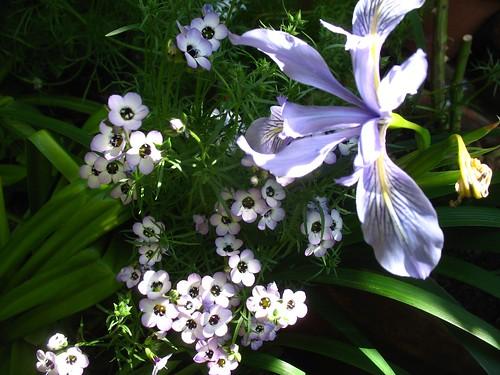 Gilia tricolor + Iris douglasiana