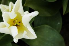 White (Sinong Tatay Mo?) Tags: white flower closeup washington dof tulip pacificnorthwest skagitvalleytulipfestival tuliptown sonya700
