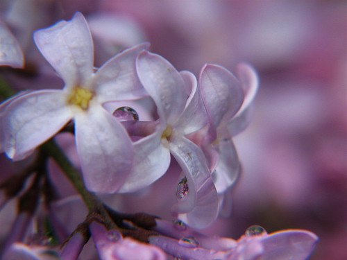 Beauty Within A Lilac
