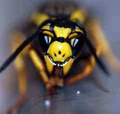 I am Smiling (Doug and Kim) Tags: macro yummy nikon dof feeding sugar 100views hornet yellowjacket vespula pensylvanica flickrsbest diamondclassphotographer kcdcdesigns