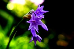 Sweet Simplicity (Pooja Photography) Tags: flower floral three purple sweet bokeh small violet simplicity mywinners
