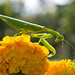 Mantis on Marigold