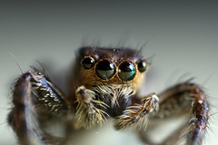 Spider (Maheash Nelanka) Tags: macro closeup spider scary eyes flickr arachnid srilanka ceylon jumpingspider mywinners abigfave ourplanet macrophotosnolimits excellentphotographerawards ahqmacro multimegashot animalplanetsupershot