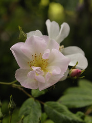 Maid Marion (Britta's photo world) Tags: plant flower macro rose pale blush britta 60mmf28dmicro maidmarion flowerotica flickrsbest niermeyer ishflickr theperfectphotographer goldstaraward azofdigitalediting qualitypixels llovemypics auniverseofflowers