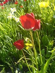 The Floral Beauty (anantal) Tags: red flower detail nature floral beauty finland tulip nepalese 2008 lappeenranta ananta anantabhadralamichhane anantab anantalcom wwwanantalcom
