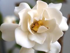 Velvety Perfume (BikBik) Tags: bravo searchthebest bec soe gardenia breathtaking takeabow themoulinrouge naturesfinest blueribbonwinner firstquality fpg imagepoetry imagequality