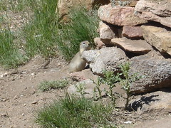 prarie dog at the stanley