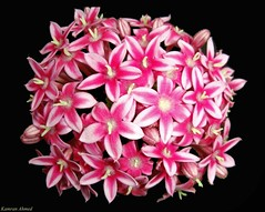 Flower Ball (Pentas lanceolata) (Photo Plus 1 (Kamran Ahmed)) Tags: aplusphoto