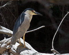 Black-crowned Night Heron (Nycticorax nycticorax) (mikebaird) Tags: bird heron birds birding aves morrobay fairbanks rookery nycticoraxnycticorax nightheron blackcrowned nycticorax myshowcase mikebaird bairdphotos 19june2008