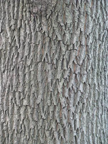 Norway Maple Tree Living The Scientific Life Scientist - Norway maple bark