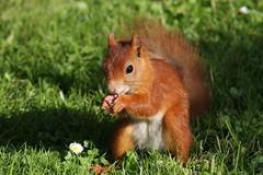 Squirrel, Eichhrnchen, esquilho (irineufa) Tags: esquilo eichhrnchen naturesfinest mywinners abigfave theunforgettablepictures natureselegantshots esquilho irineufa