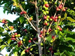 fruit grows on the branch (parttimefarm) Tags: trees coffee brasil fruit farm echapora
