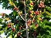 fruit grows on the branch (parttimefarm) Tags: trees coffee brasil fruit farm echapora