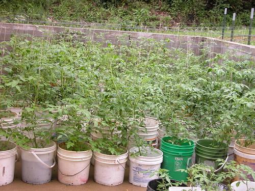 92 tomato buckets