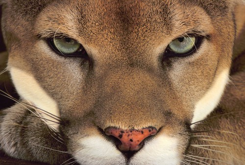 Cougar Face upload.jpg