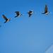 Phalacrocorax flight