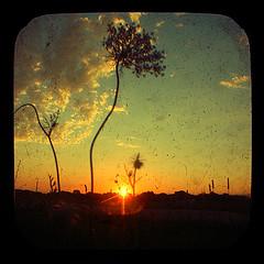 Thrive (Just Add Light) Tags: sunset sky orange flower nature field wisconsin clouds vintage reflecting evening glow shine sundown ciel milwaukee anscoflex solei warming nightfall cooling thriving gnas wnature aegopodiumpodagraria justaddlight