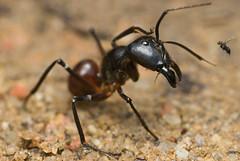 Dinomyrmex gigas under attack by Phoridae flies...DSC_1403 copy (Kurt (OrionHerpAdventure.com)) Tags: macro closeup giant fly ant tropical mandibles gigas camponotus giantant parasitoid phoridae