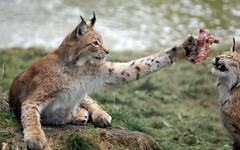 Lynx catching meat (m0nkiii) Tags: animal animals cat zoo skne nikon action sigma 150 luck alive mm lynx picnik sknes djurpark d40 sigma15028 apomacro150mmf28exdghsm thechallengegame challengegamewinner 150mmf28exdghsm