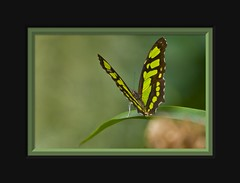 Scarce Bamboo Page (Philaethria dido) (Arie van Tilborg) Tags: rose zoo blijdorp moth butterflies bamboo mormon vlinders motten tilborg