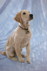 Jarvis (Dreghorn Photography) Tags: portrait pet dogs golden retriever clean backdrop