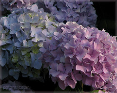 Color everywhere (potomacstar - give and it shall be given to you...) Tags: flowers summer nature floral hydrangea multicoloredflowers athingofbeauty mywinners colorphotoaward flowersasart flowersandcolors flickrchics flowershowcase floweronly floralfavorites