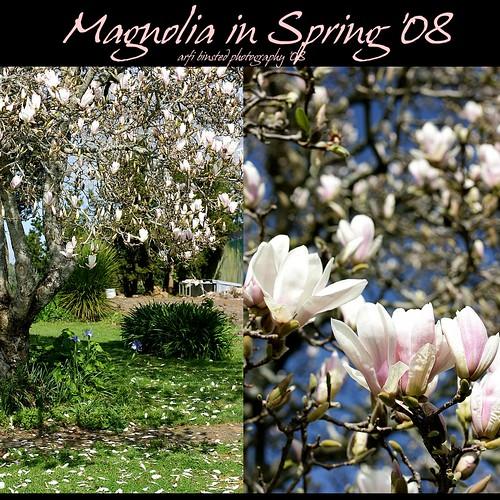 Magnolia in Spring
