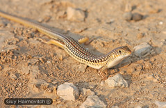 (Eumeces schneideri pavimentatus) חומט מנומר צפוני
