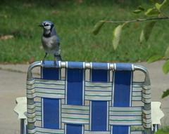 Blue Jay Blue Chair