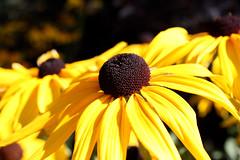 Black Eyed Susans (moved-http://www.flickr.com/photos/traceysawatzky/) Tags: flower edmonton alberta blackeyedsusan