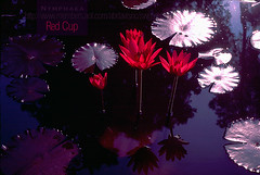 Nymphaea Red Cup (Night bloom tropical waterlily) (adavisus) Tags: red cup water night garden pond waterlily lily tropical bloom blooms lilypads ornamental nymphaea redcup adavisus swglist