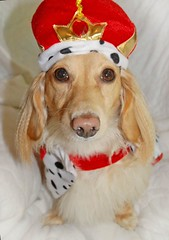 How would you like to be.....Queen for a day?!?! (Doxieone) Tags: red dog cute english fall halloween long cream dachshund honey blonde 2008 haired 31 coll longhaired honeydog englishcream halloweenfall2008set