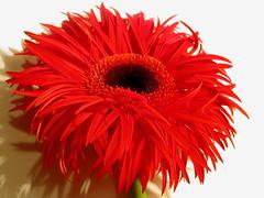 g e r b e r a ( Graa Vargas ) Tags: red flower nikon explore gerbera interestingness231 i500 graavargas 2008graavargasallrightsreserved 33529140211