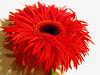 g e r b e r a (✿ Graça Vargas ✿) Tags: red flower nikon explore gerbera interestingness231 i500 graçavargas ©2008graçavargasallrightsreserved 33529140211