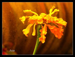 Macro - At My Neighbor Series (Anas Ahmad) Tags: north ahmad karachi ahmed anas anasahmad anasahmadphotography