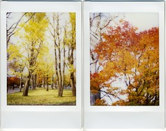 campus in fall #6 (miwas) Tags: autumn red two tree fall yellow campus ginkgo maple sapporo diptych double instant fujifilm autumncolor hokkaidouniversity ginkgotree cheki fujiinstaxmini instaxmini instaxmini7s