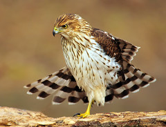 Immature Cooper's Hawk...Photo Four of Four (ozoni11) Tags: bird nature birds animal animals interestingness nikon hawk explore raptor prey 31 raptors hawks coopershawk columbiamaryland d300 accipitercooperii wildelake interestingness31 i500 specanimal michaeloberman explore31 coopershawks ozoni11 avianexcellence mybestwildlife