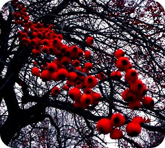 Berries in Dogwood (joehall45) Tags: red sky tree berries group soe mywinners abigfave diamondclassphotographer citrit heartawards kornrawieegallery