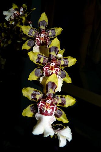 Yellow Butterfly  orchid Yellow Butterfly Orchid