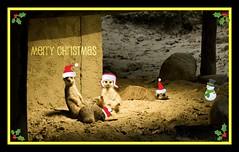 Nativity scene II (gwendolen) Tags: meerkat picnik suricate stokstaartje merryxmas amersfoortzoo gwendolentee