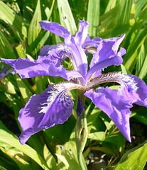 Giaggiolo giapponese (Iris Tectorum) (Luigi Strano) Tags: flowers iris flores nature fleurs blumen wildflowers fiori smörgåsbord flori цветы giaggiolo iristectorum schedebotaniche botanicalnotes