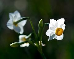 Narcissus (shinichiro*) Tags: flower macro japan tokyo nikon 2008 crazyshin d3  masterphotos makroplanart1002zf ds26353