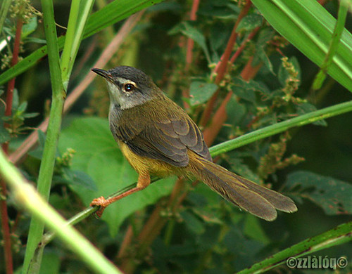 Perenjak Kuning @ Yellow-bellied Prinia