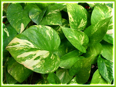 Epipremnum aureum 'Golden Pothos' (Devil's Ivy, Money Plant, Silver/Taro Vine, Hunter's Robe)