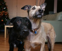 Brothers (kerri.o) Tags: brothers lurcher tealeaf ducu