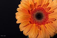 Today's Colour is Orange (Mistur Photography) Tags: orange flower nikon explore soe d90 blueribbonwinner strobist nikoncls mywinners abigfave goldstaraward wonderfulworldofflowers vosplusbellesphotos afsnikkor2470mmf28g