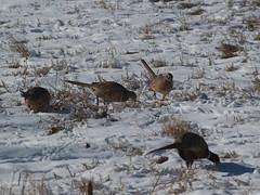 Pheasants (lostinfog) Tags: 2008 december 200812 gamebirds colorado bird e300 taxonomy:class=aves taxonomy:order=galliformes ringneckedpheasant taxonomy:binomial=phasianuscolchicus