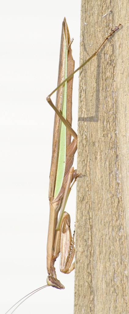 long mantis