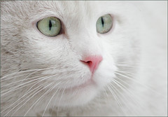 Our more and more frequent guest ... (AnyMotion) Tags: portrait pet cats white detail blanco nature face animals closeup tiere eyes chat stranger portrt gato felino blanc 2009 katzen whitecat kater pinknose matou eisbr flin ilovecats blueribbonwinner cotcmostinteresting anymotion katzenportrait wonderfuleyes 200faves icecat portraitaufnahmen mywinners abigfave schneekatze cat1000 bestofcats platinumphoto colorphotoaward ourplanet ultimateshot goldenphotographer diamondclassphotographer citrit excellentphotographerawards platinumhearta