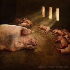 A Big Family (fesign) Tags: animal pigs animalia piggies pigsty naturesfinest flickrsbest thelittledoglaughed karmapotd masterpiecesoflightdark 11piglets
